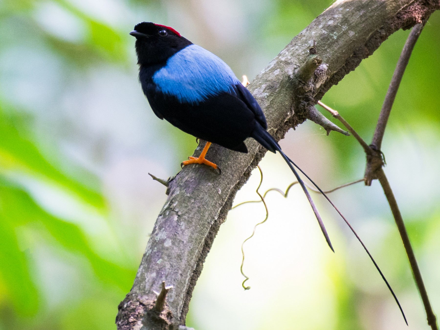 Long-tailed Manakin - Moises Rodriguez
