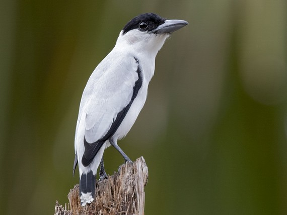 Black-crowned Tityra - Anselmo  d'Affonseca