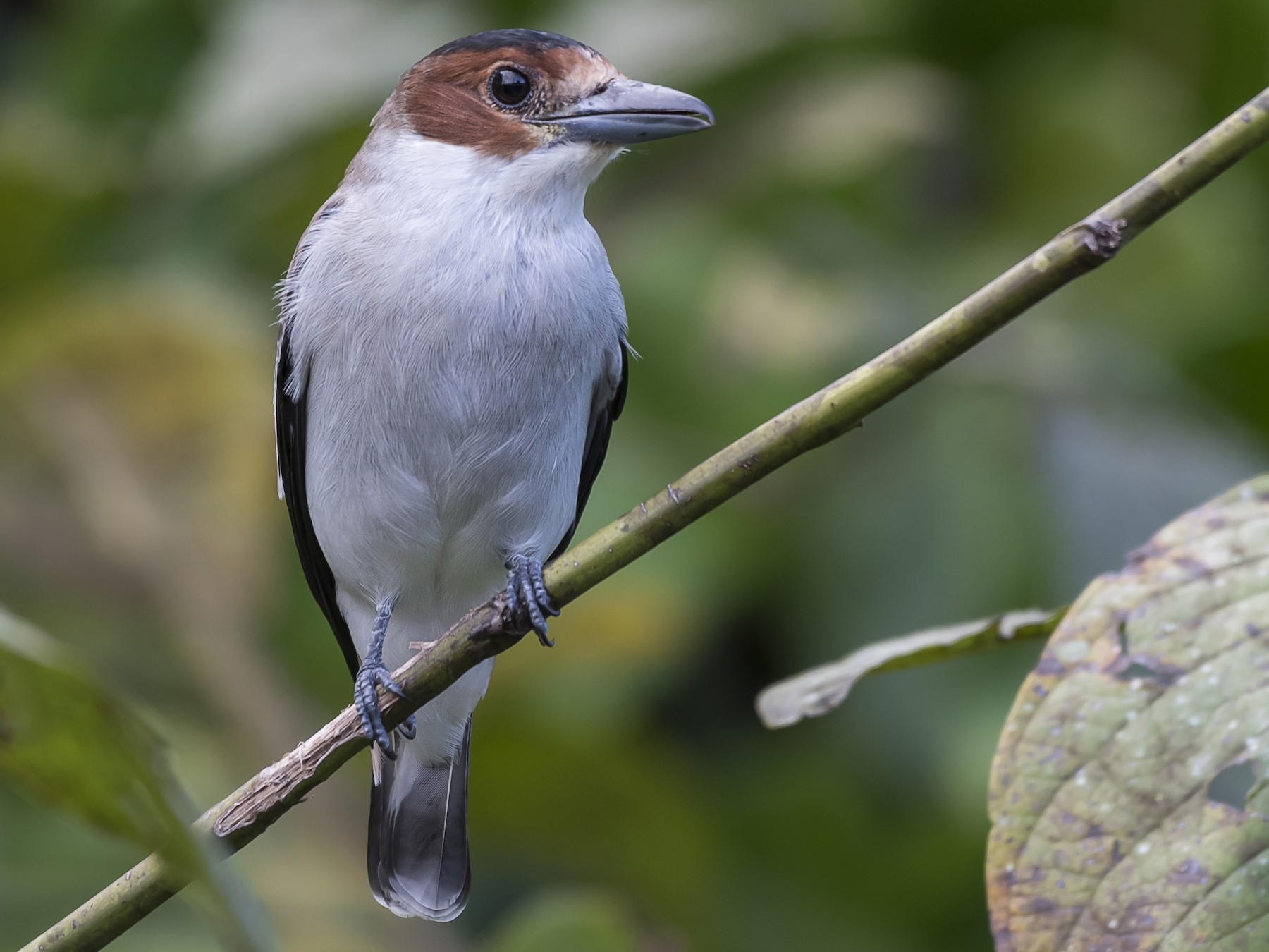 Black-crowned Tityra - fernando Burgalin Sequeria