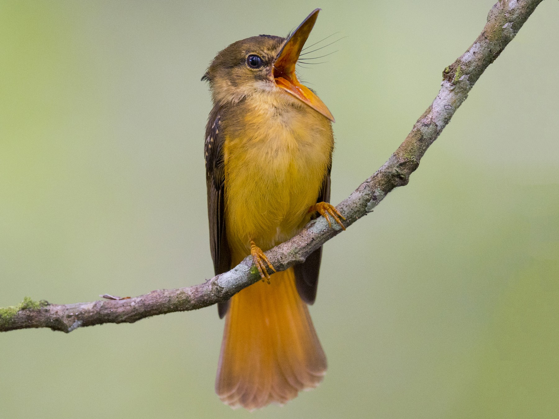 Royal Flycatcher - John Cahill xikanel.com