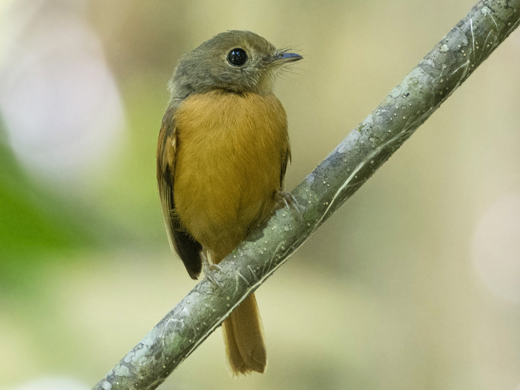 Ruddy-tailed Flycatcher - Carlos Echeverría