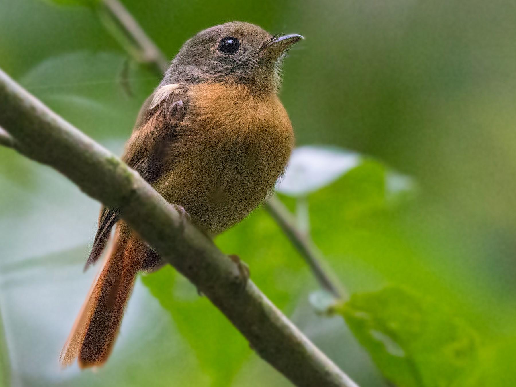 Ruddy-tailed Flycatcher - Neil Dowling