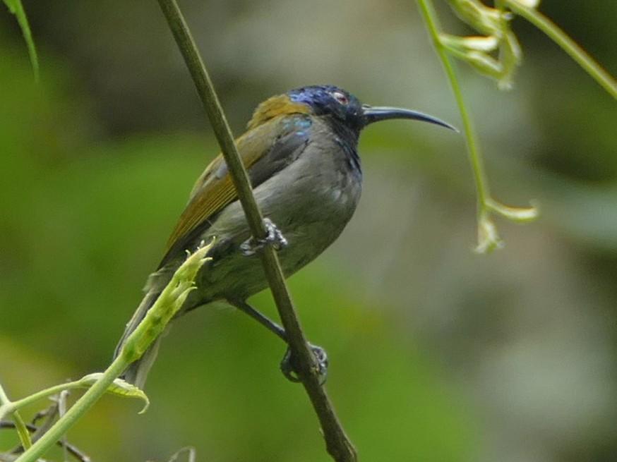 Blue-headed Sunbird - Ronald de Mol
