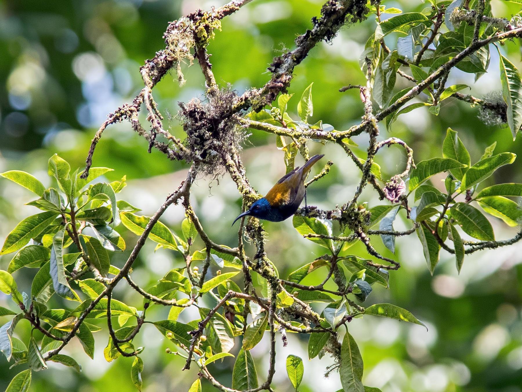 Blue-headed Sunbird - Shailesh Pinto