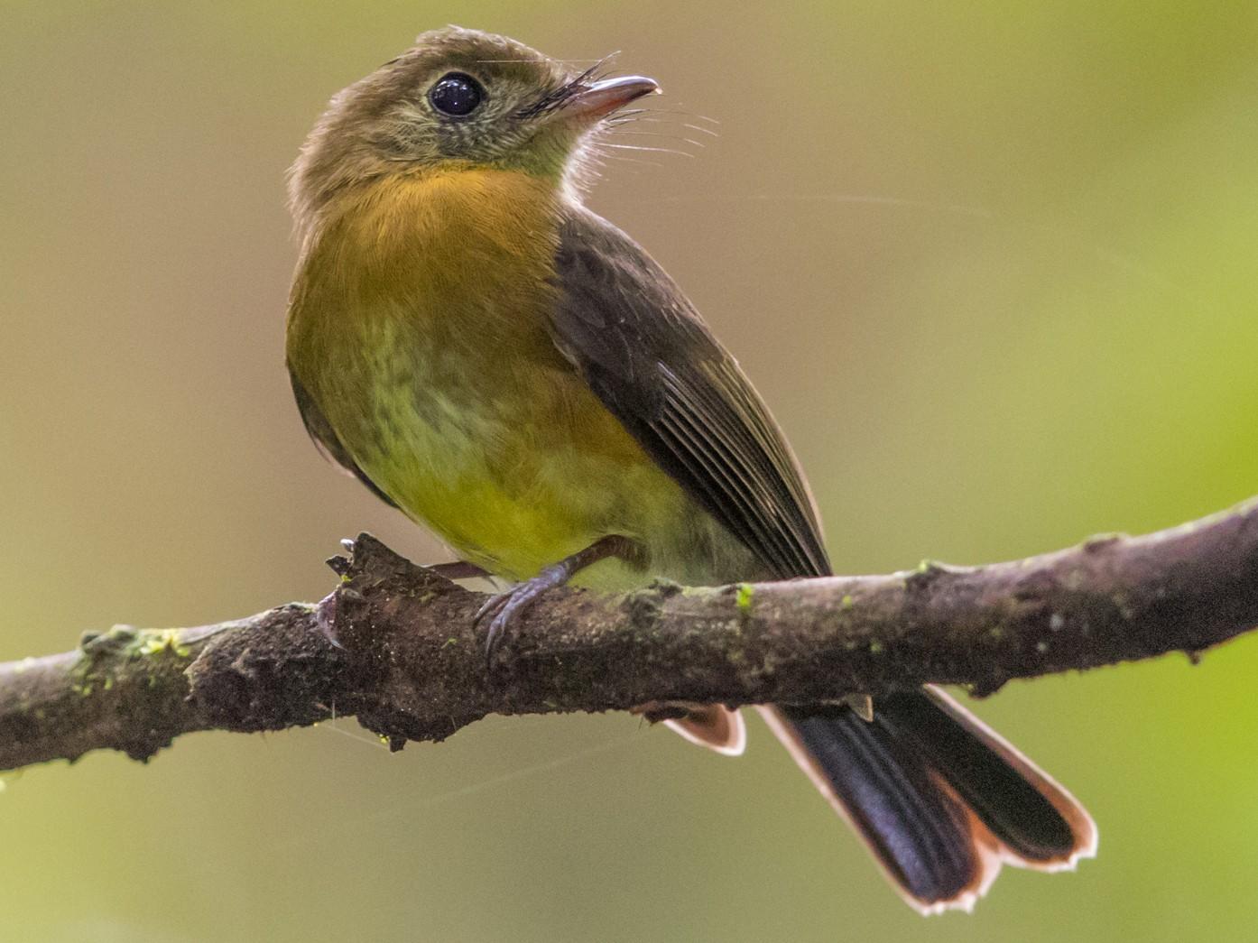 Sulphur-rumped Flycatcher - Soham Mehta