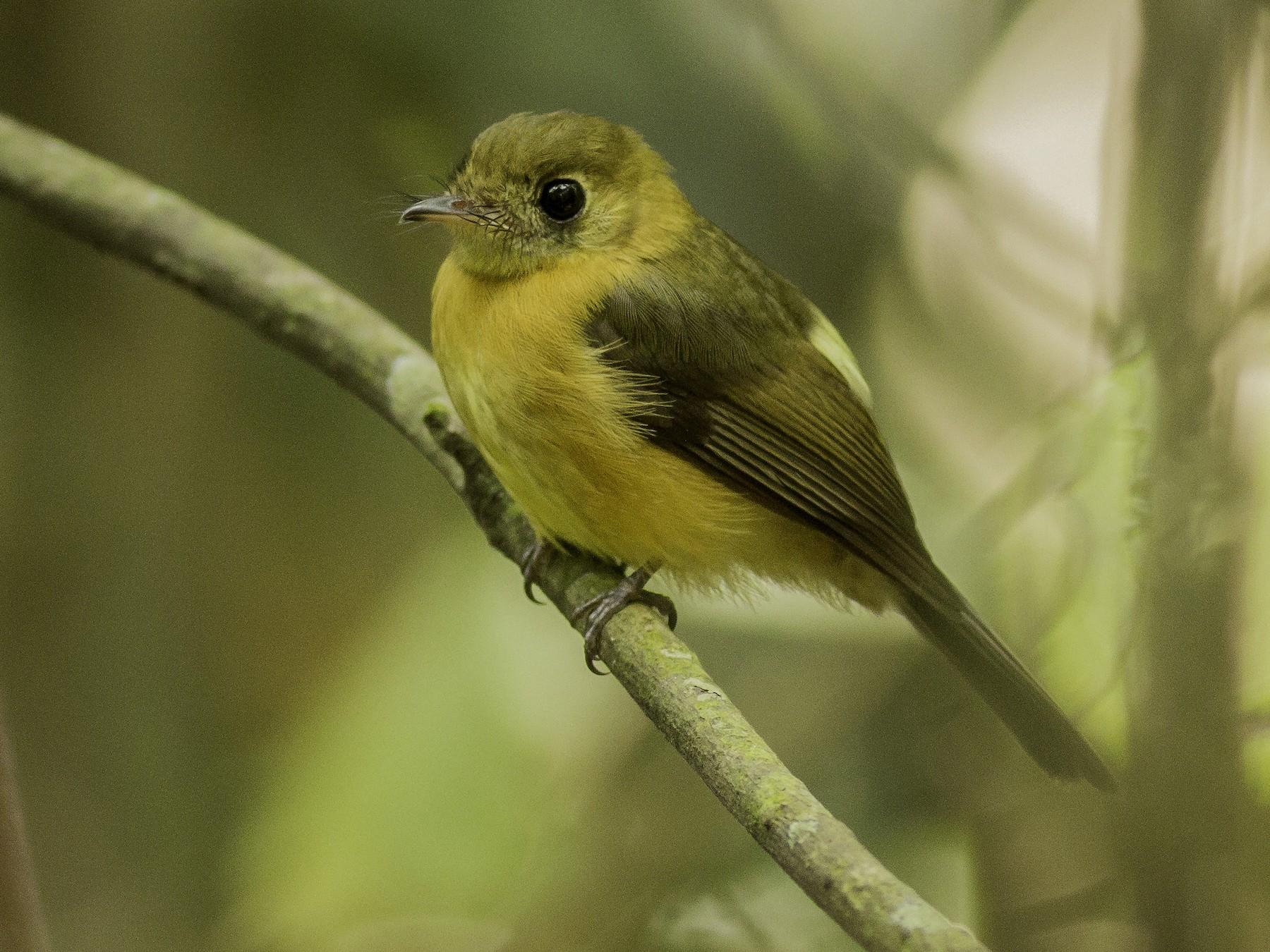 Sulphur-rumped Flycatcher - Roni Martinez