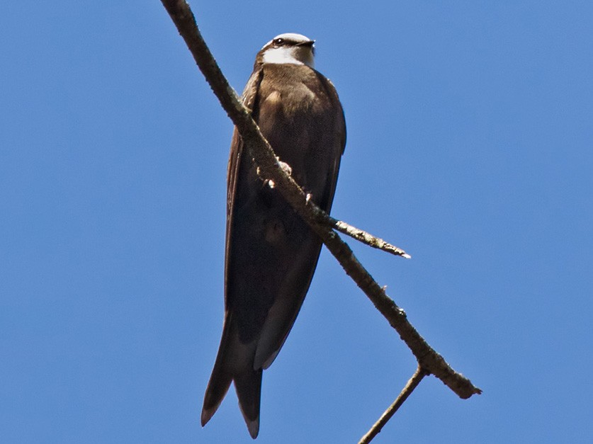 White-headed Sawwing - Lars Petersson