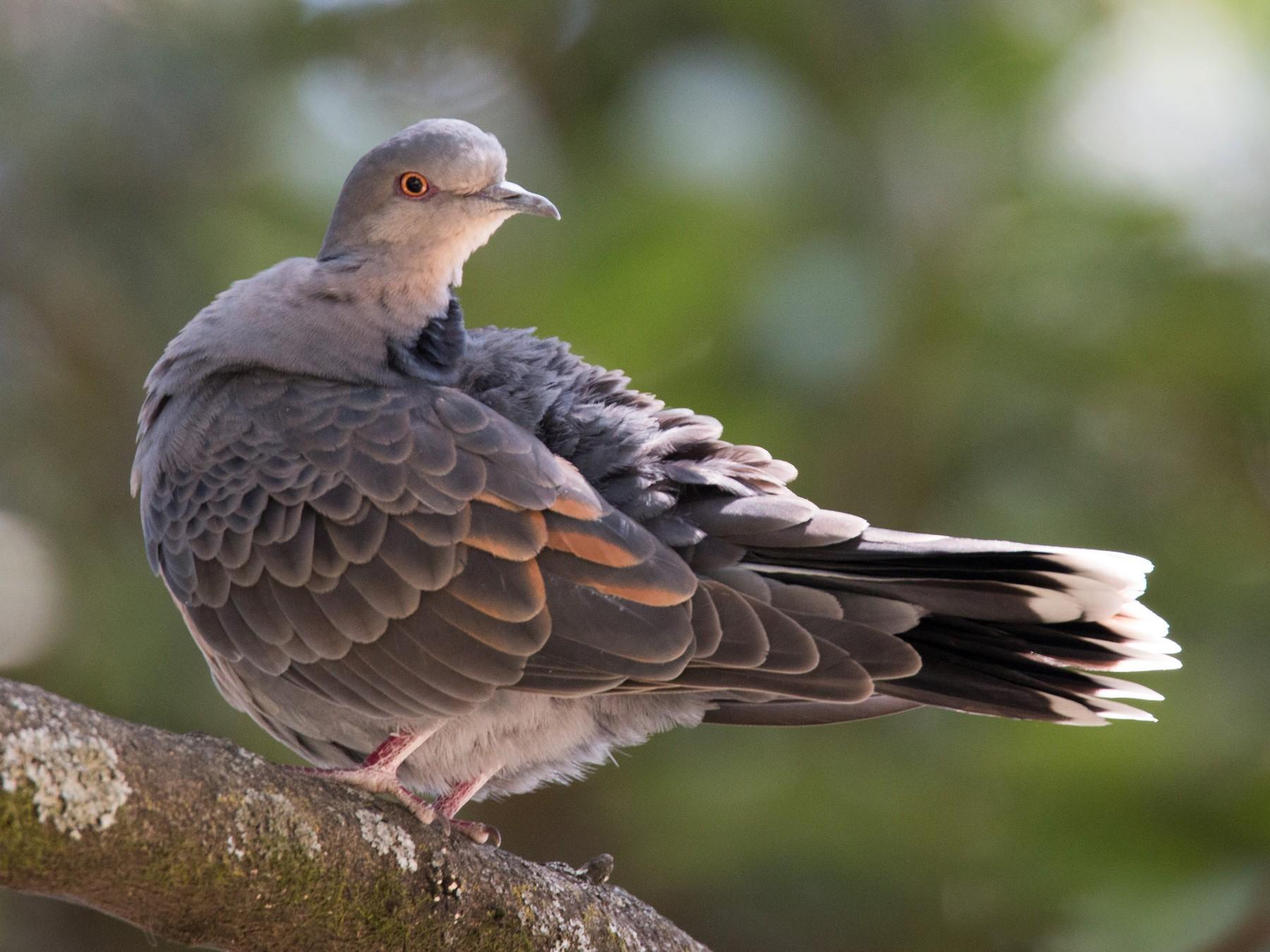Dusky Turtle-Dove - Ian Davies