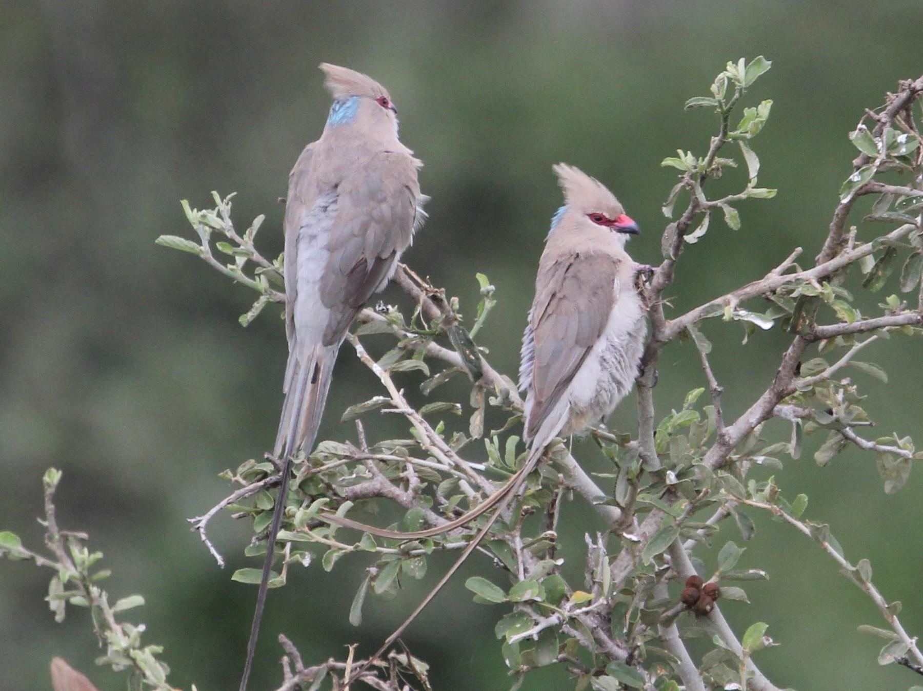 Blue-naped Mousebird - John Bjorkman