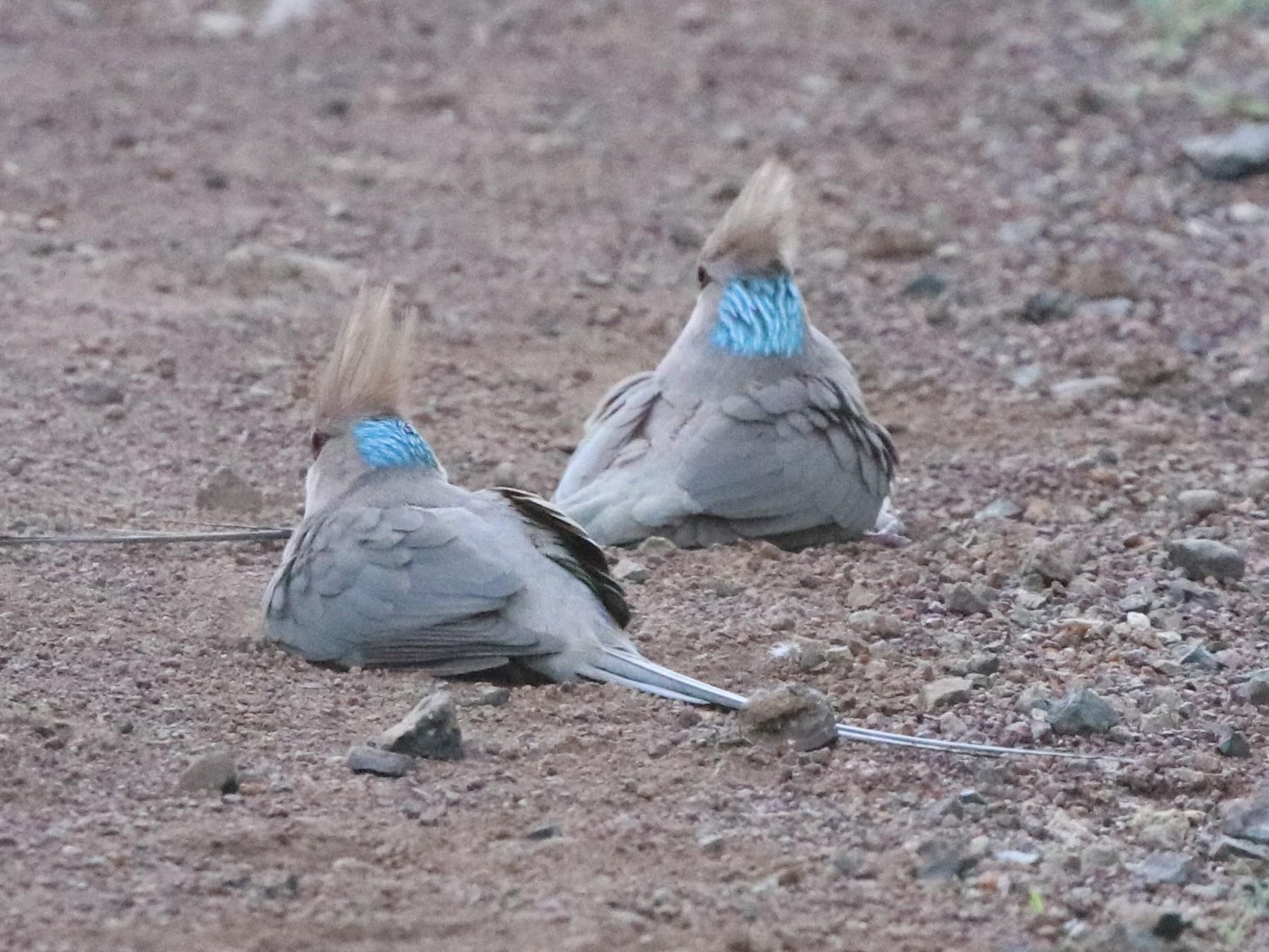 Blue-naped Mousebird - Jason Fidorra
