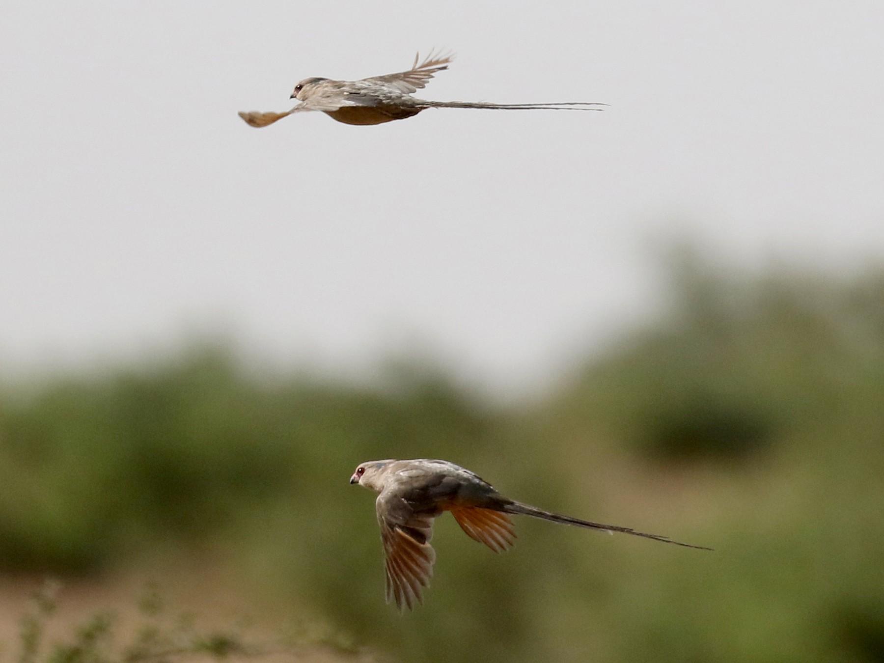 Blue-naped Mousebird - Jay McGowan