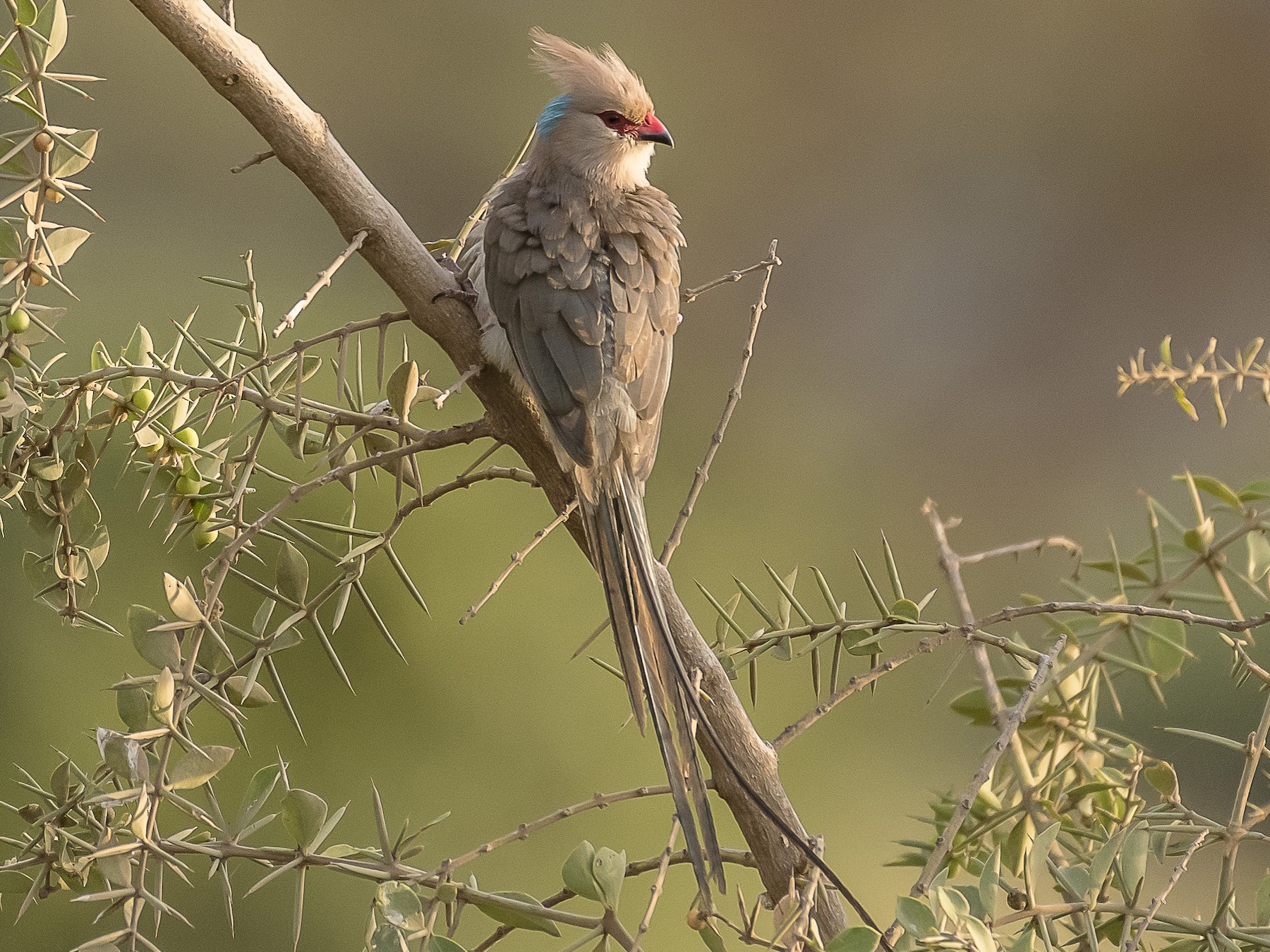 Blue-naped Mousebird - Stephen Wainer