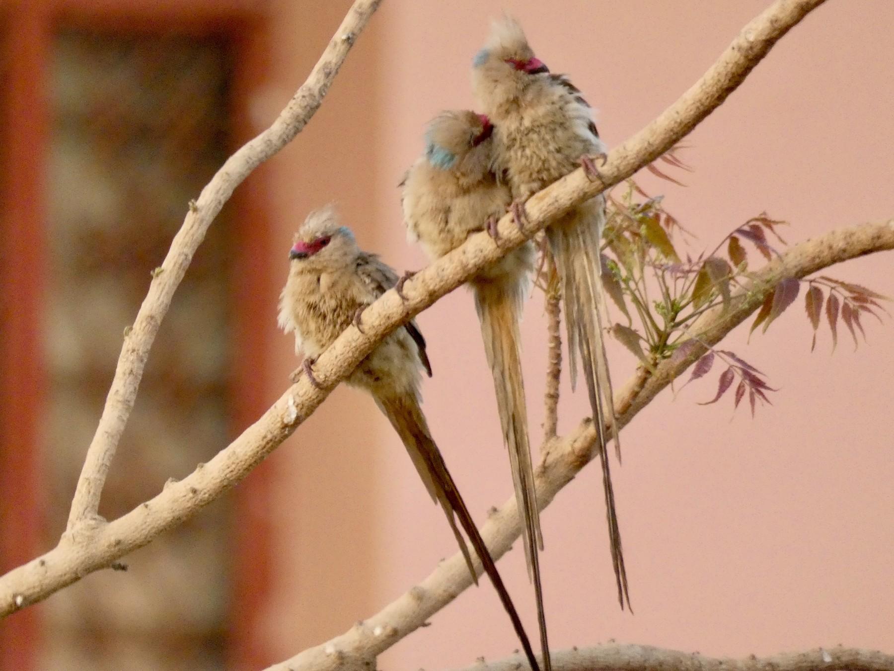 Blue-naped Mousebird - Pete Harrison
