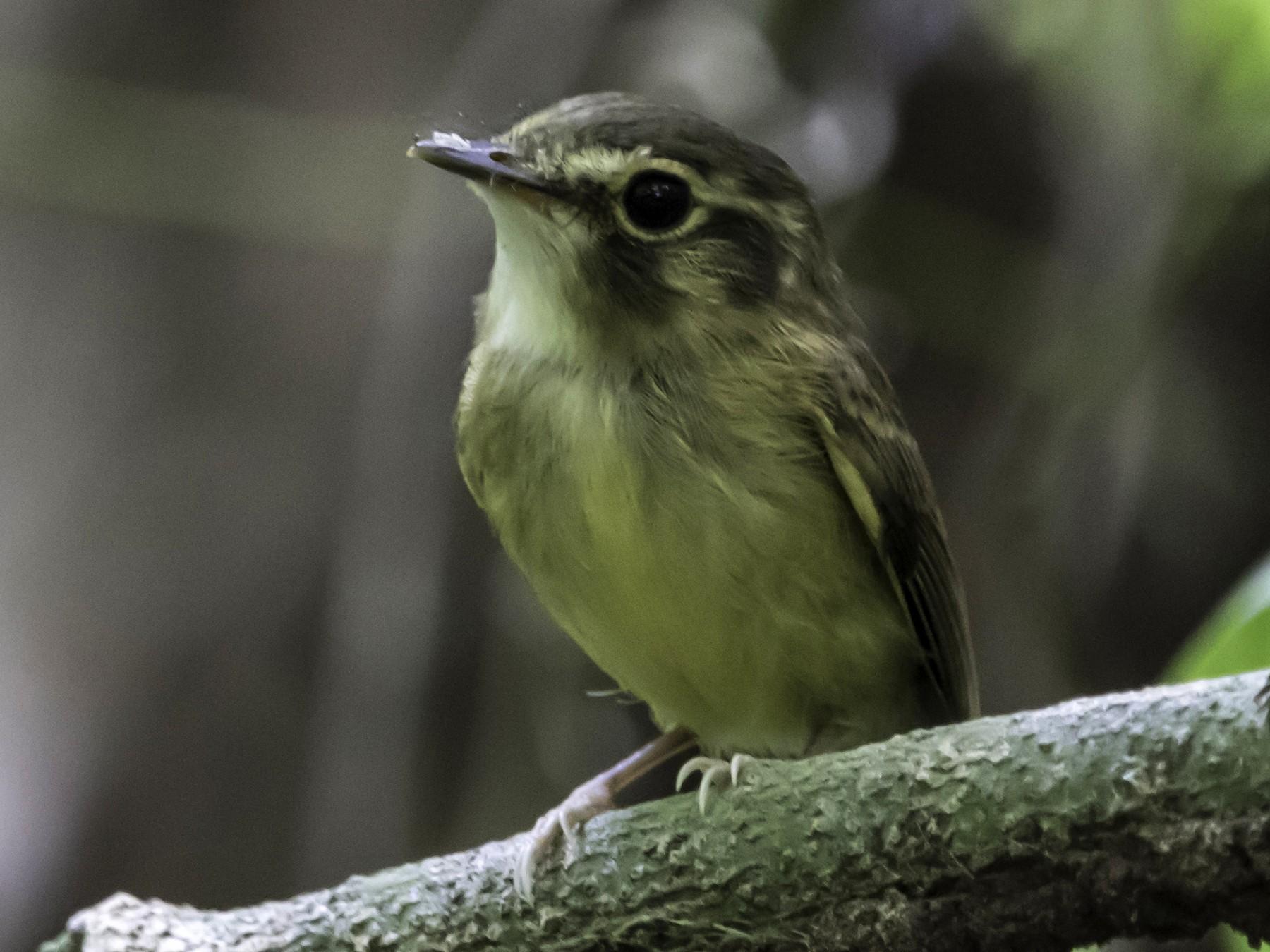 Stub-tailed Spadebill - Jorge Eduardo  Ruano