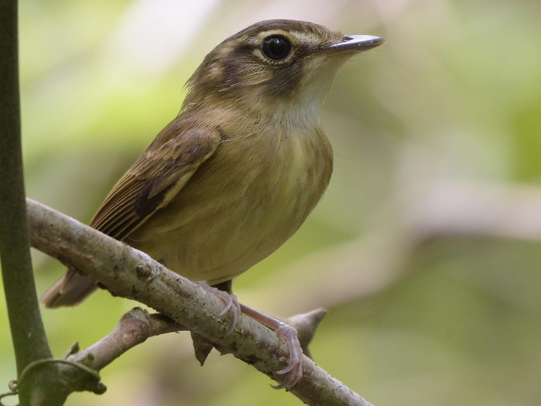 Stub-tailed Spadebill - Carlos Echeverría