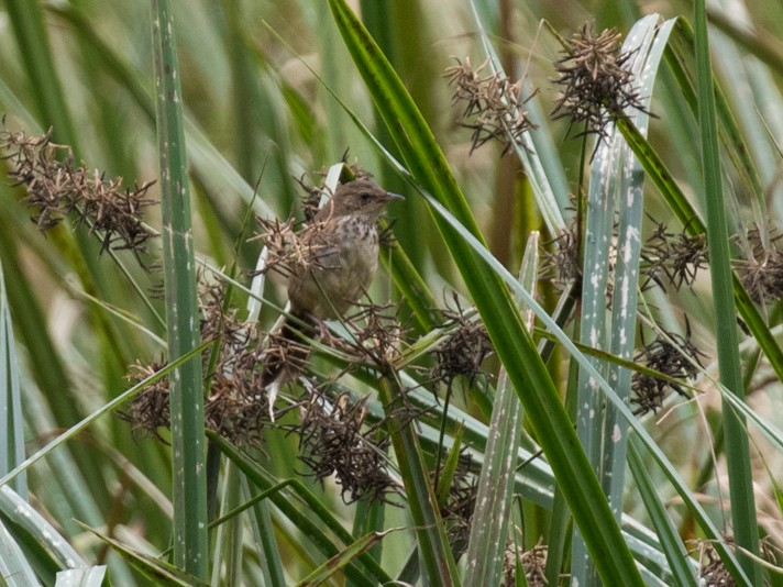 Grauer's Swamp Warbler - Raphael Lebrun