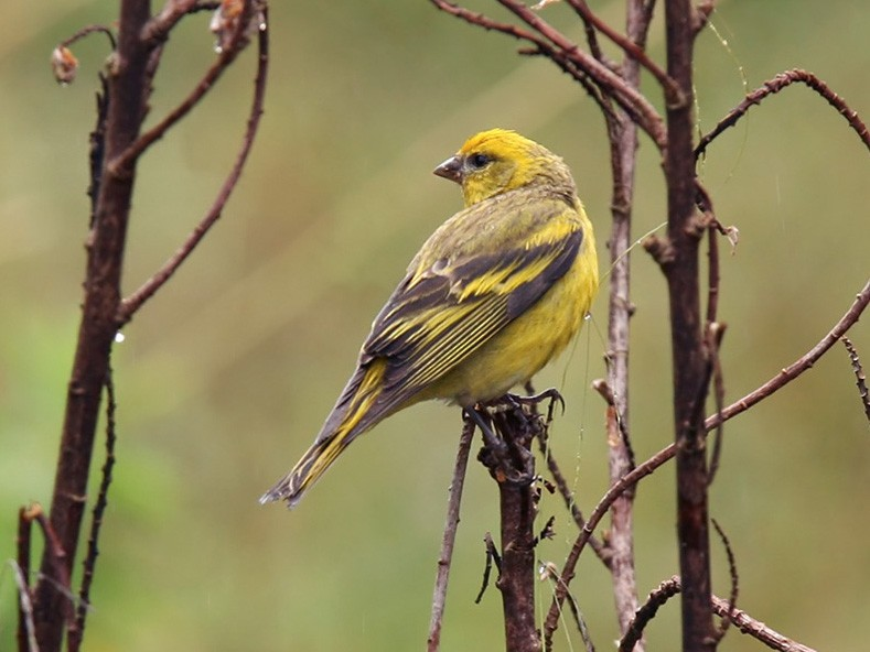 Yellow-crowned Canary - Lars Petersson