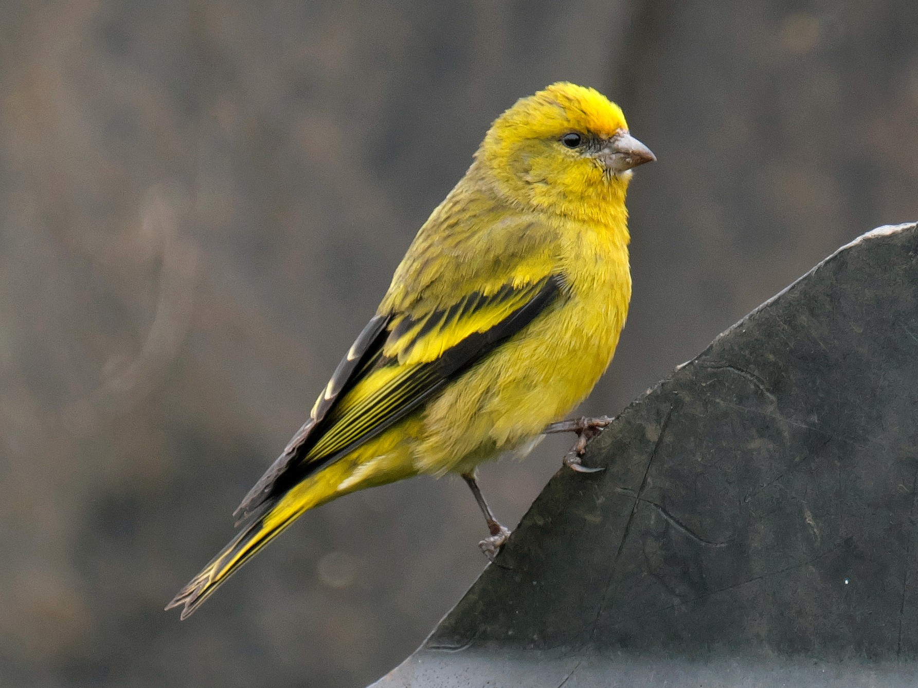 Yellow-crowned Canary - xiwen CHEN