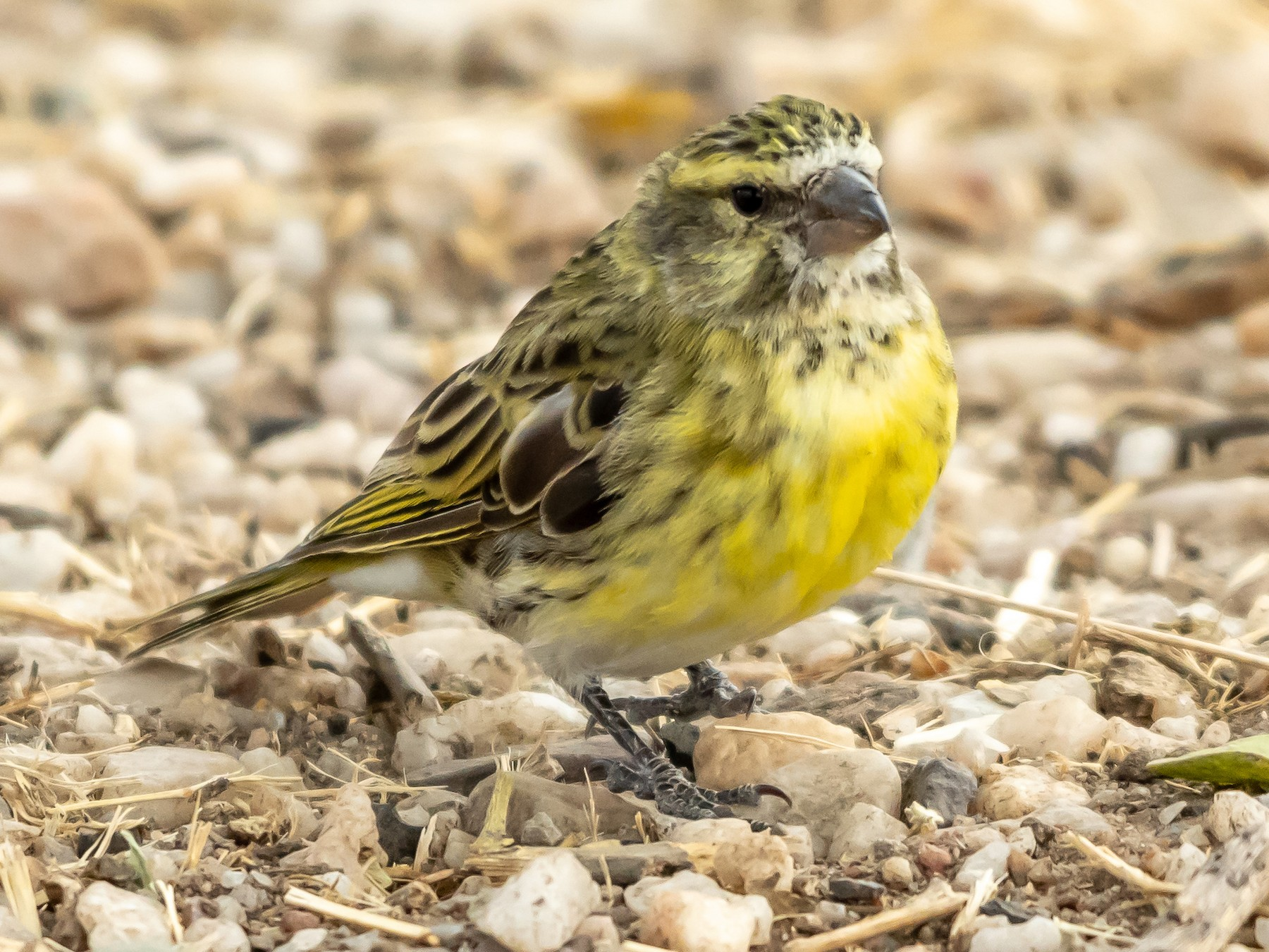 Yellow-crowned Canary - James Hoagland