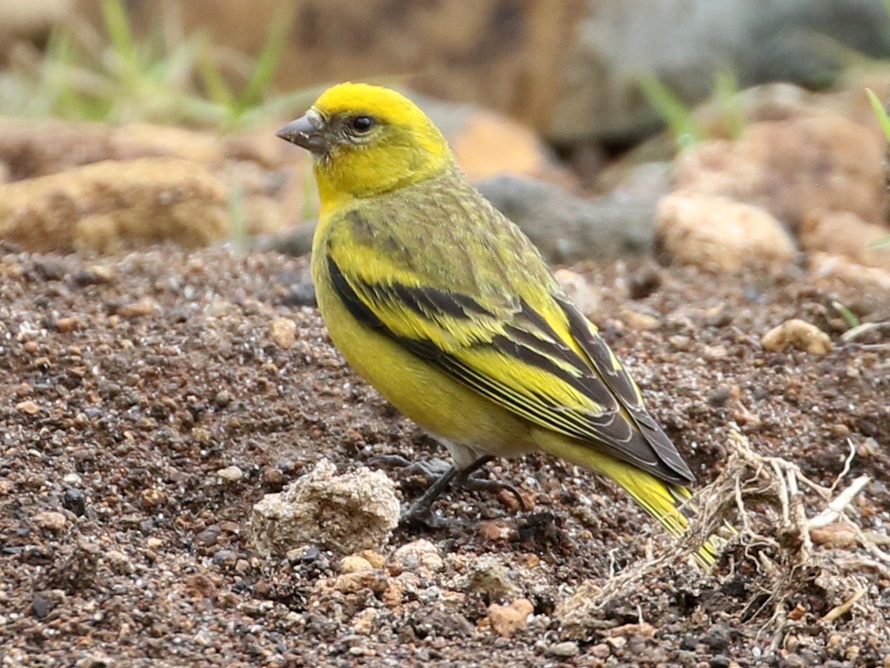 Yellow-crowned Canary - Dave Beeke