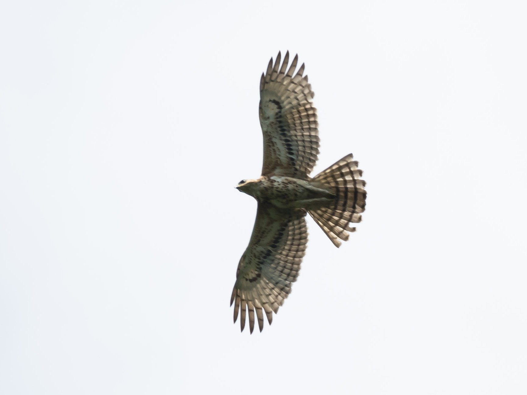 Cassin's Hawk-Eagle - Eric francois Roualet