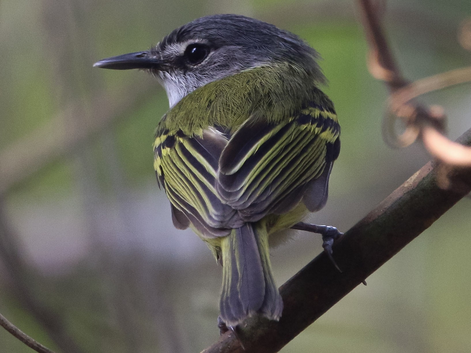 Slate-headed Tody-Flycatcher - Isaias morataya