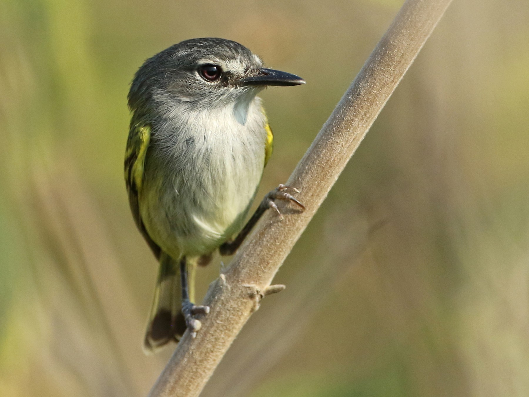 Slate-headed Tody-Flycatcher - Luke Seitz