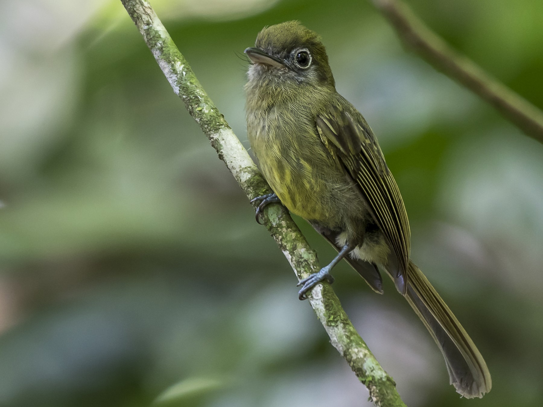 Eye-ringed Flatbill - fernando Burgalin Sequeria