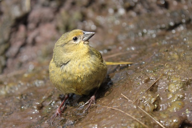Inaccessible Island Finch (Lowland)