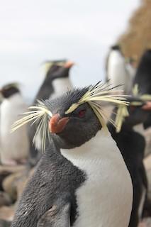 Moseley's Rockhopper Penguin
