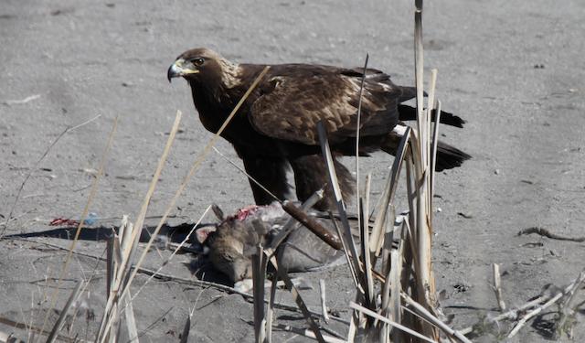 Golden Eagle with Greater White-fronted Goose (<em>Anser albifrons) p</em>rey.