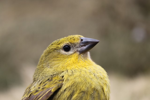 Inaccessible Island Finch (Upland)