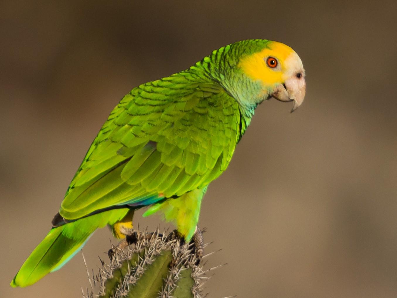 Yellow-shouldered Parrot - Suzie McCann