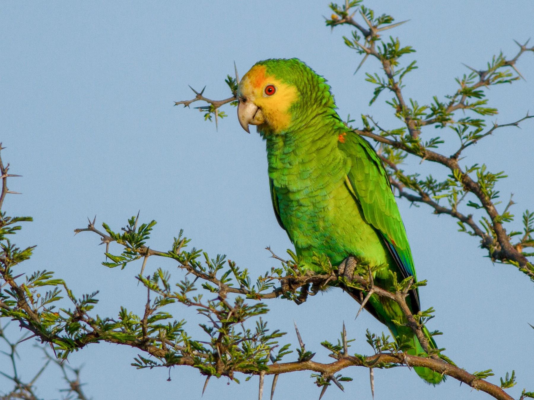 Yellow-shouldered Parrot - Jeff Gerbracht