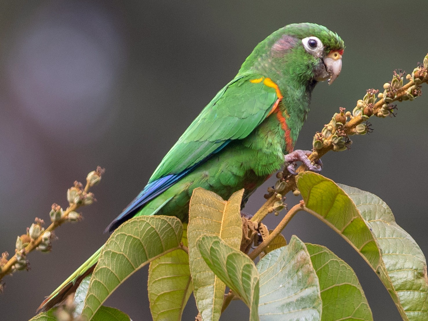 Santa Marta Parakeet - Cory Gregory