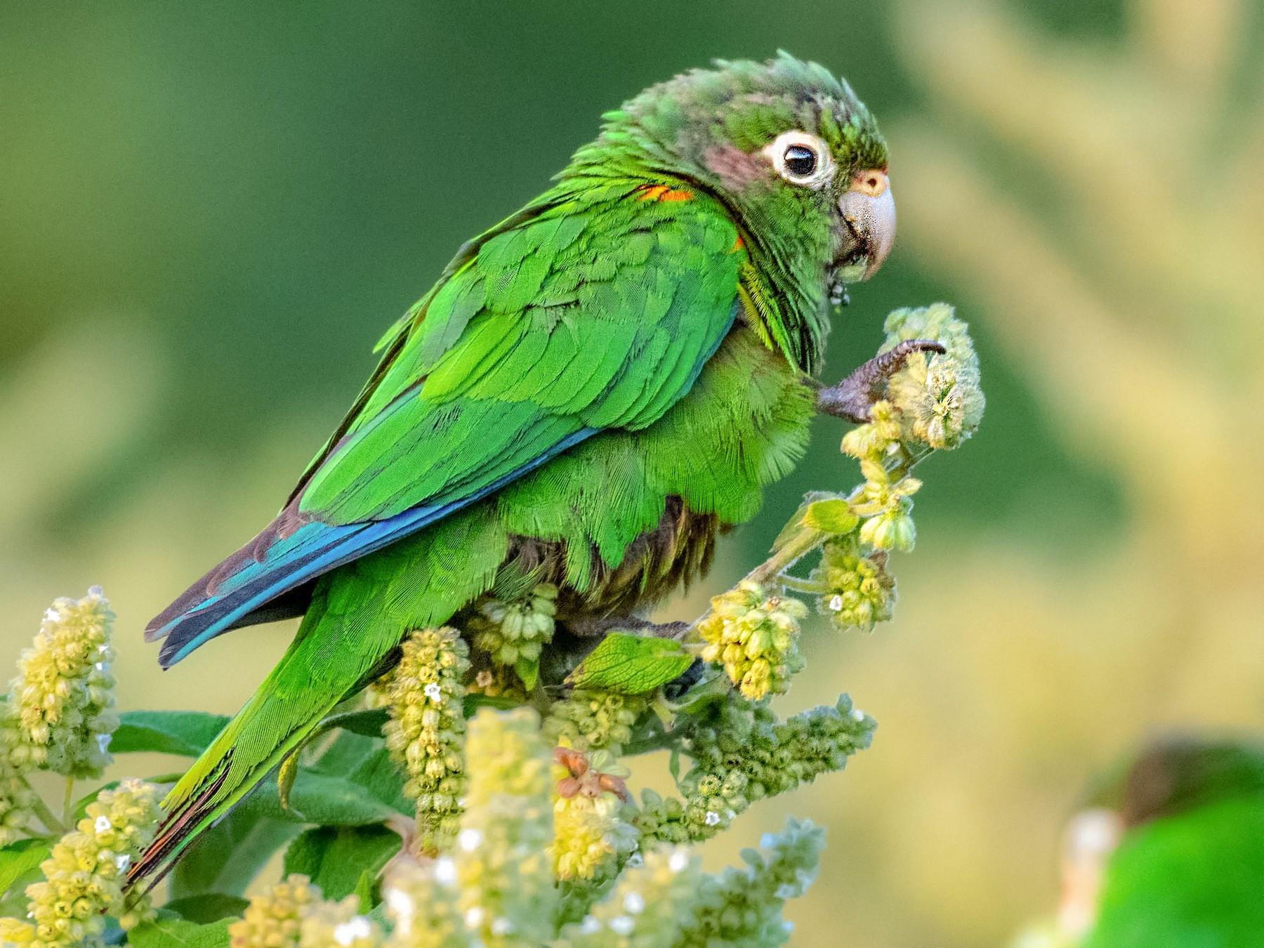 Santa Marta Parakeet - Homer Gardin