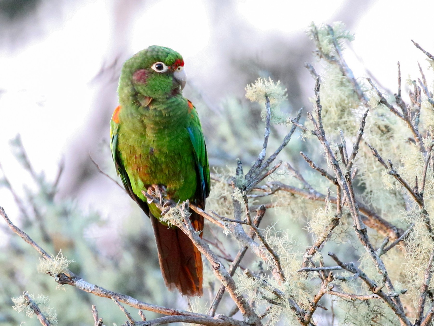 Santa Marta Parakeet - Matthew Grube