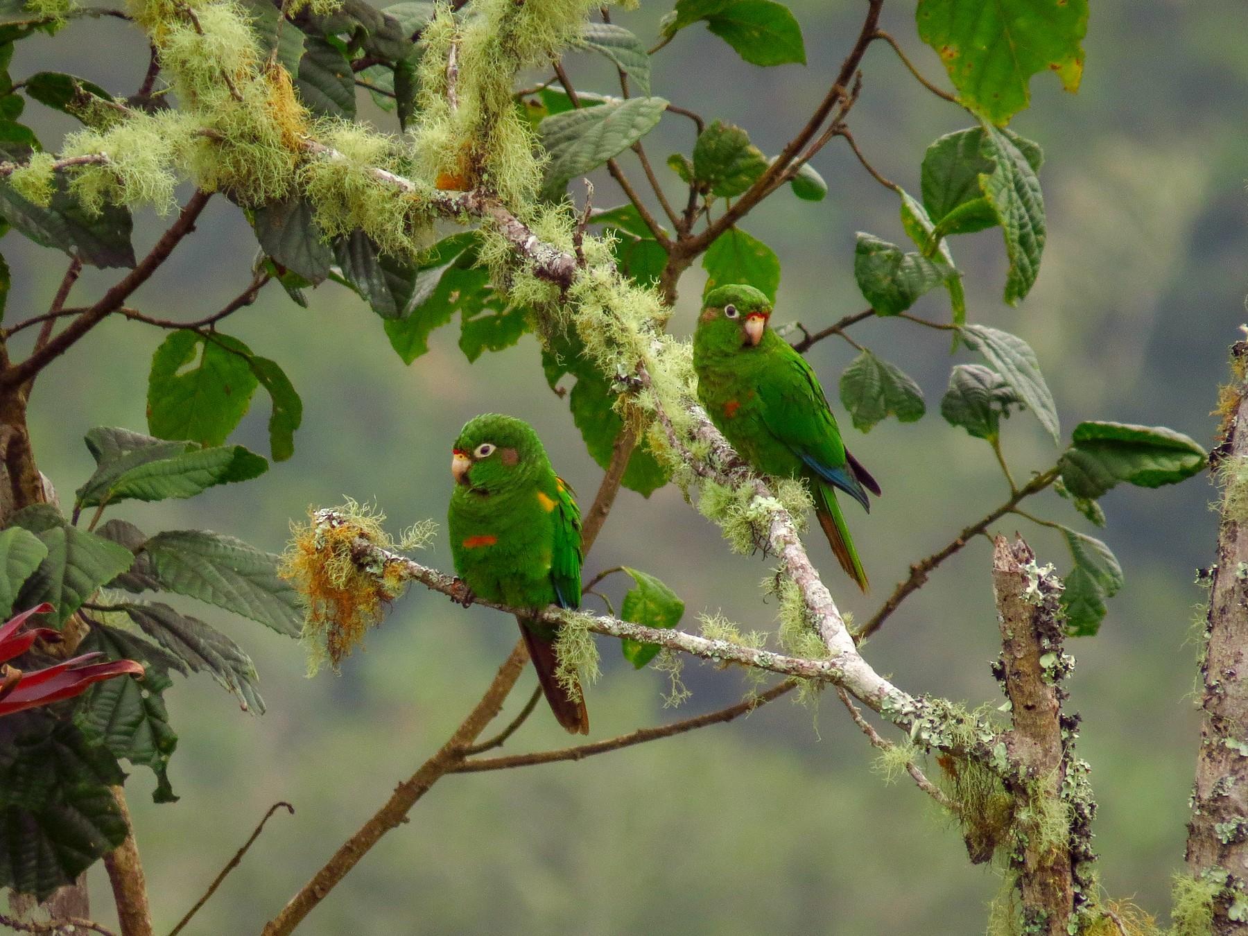 Santa Marta Parakeet - Jorge Muñoz García   CAQUETA BIRDING