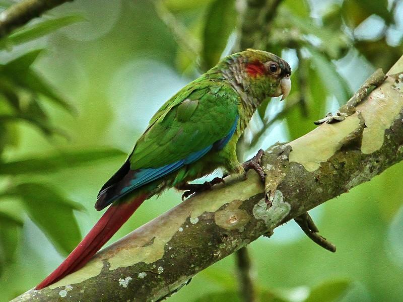 Red-eared Parakeet - Margareta Wieser