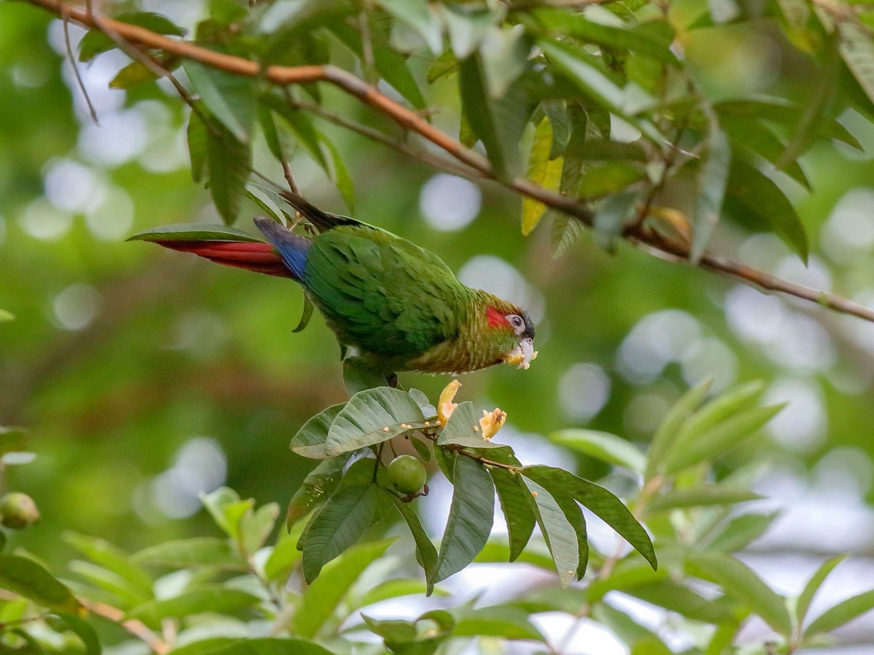 Red-eared Parakeet - Holger Teichmann