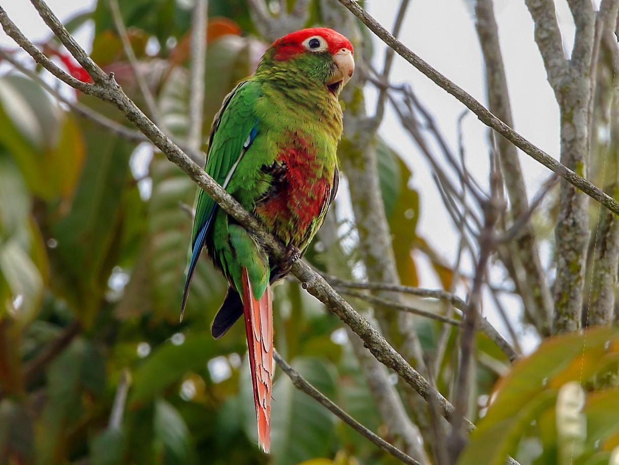 Rose-headed Parakeet - Lorenzo Calcaño