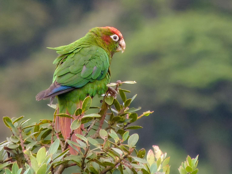 Rose-headed Parakeet - Iván Lau