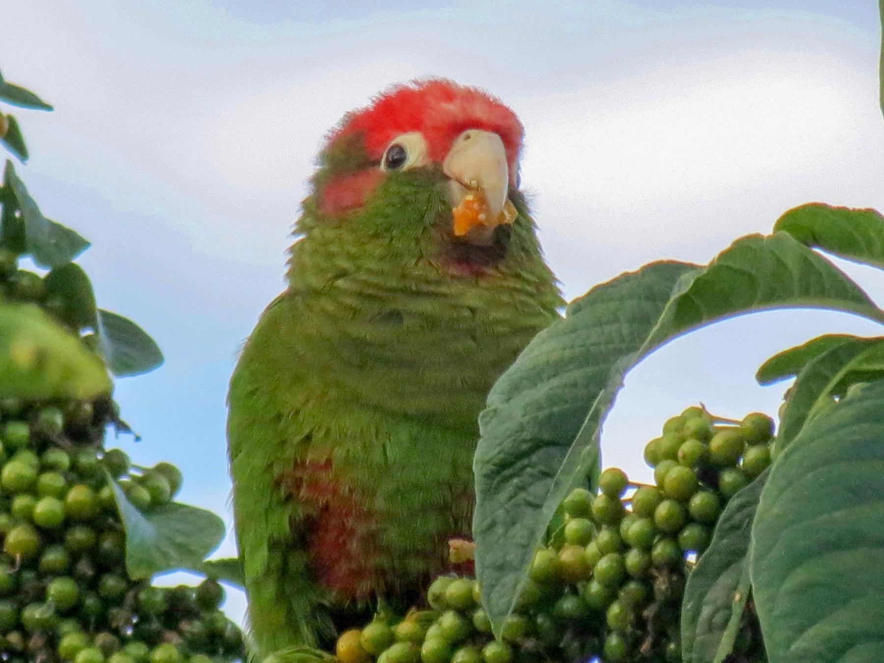 Rose-headed Parakeet - Thore  Noernberg
