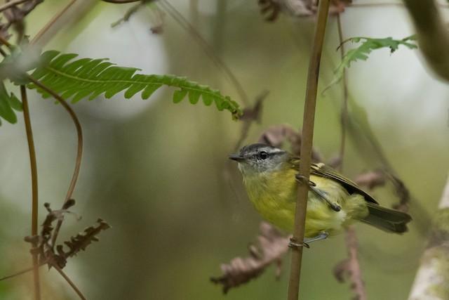 Island Leaf Warbler (Seram)