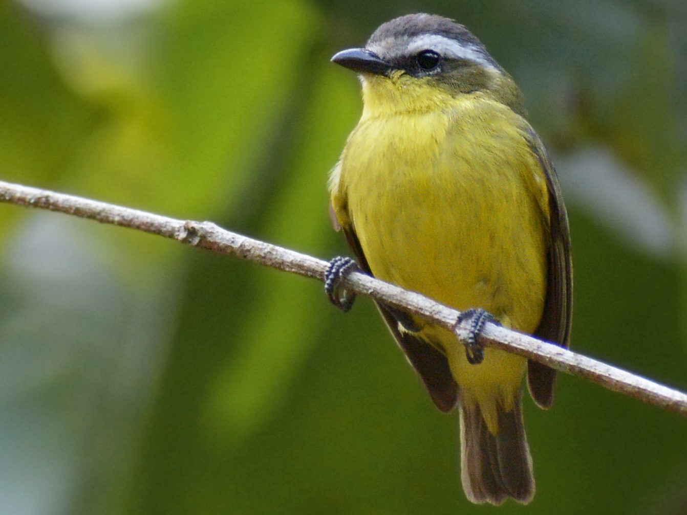 Yellow-bellied Tyrannulet - Jorge Dangel
