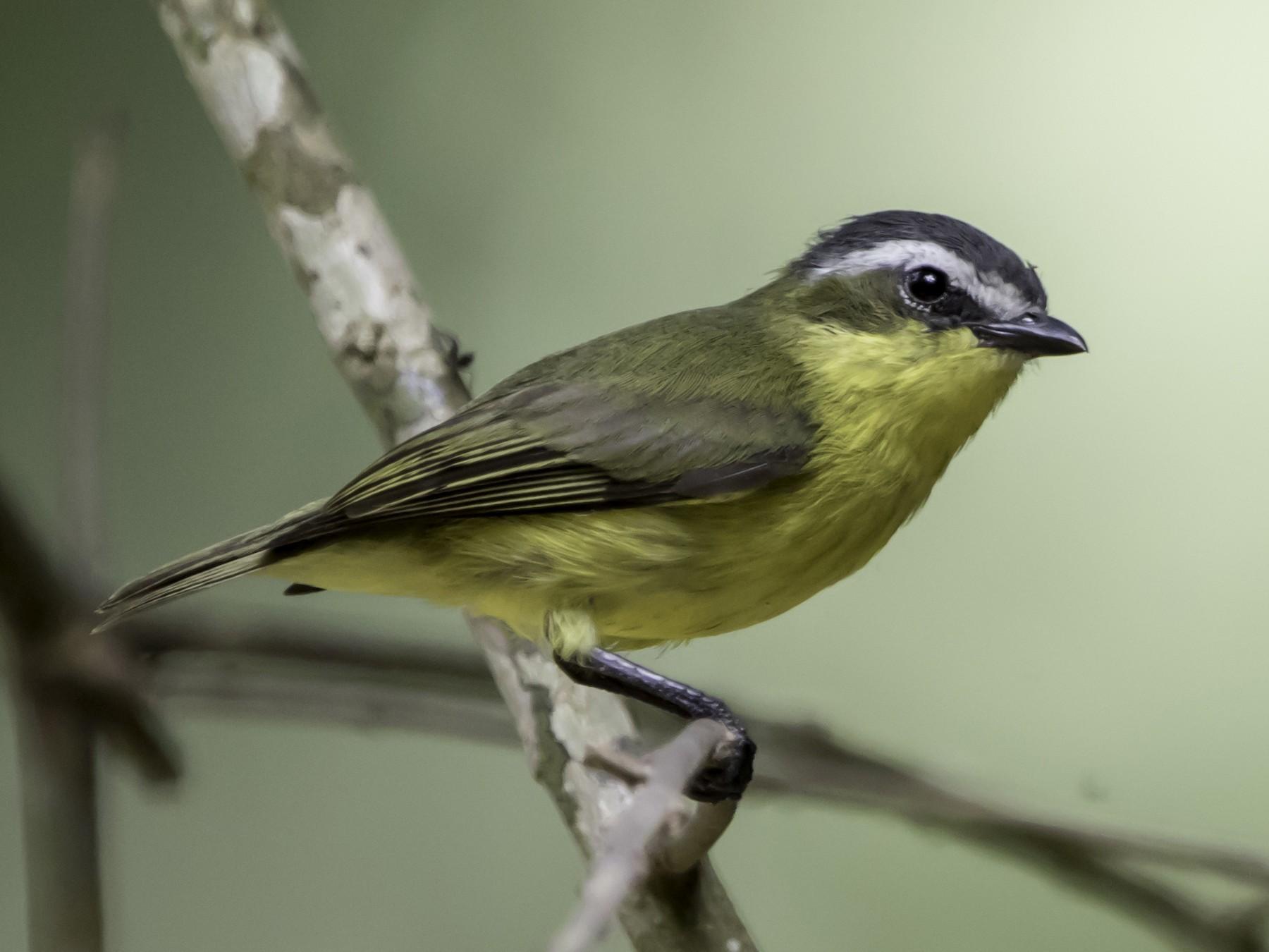 Yellow-bellied Tyrannulet - Jorge Eduardo  Ruano