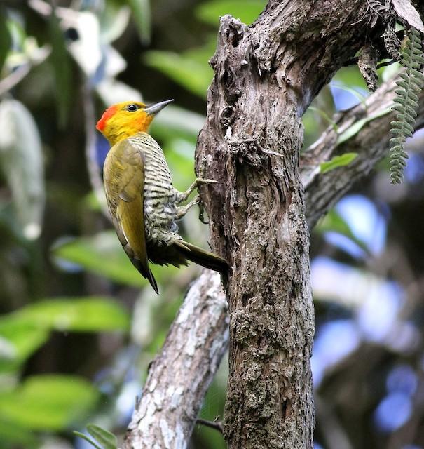 Yellow-throated Woodpecker