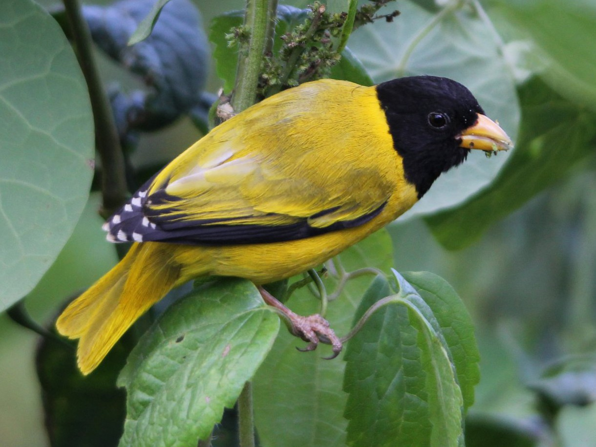 Oriole Finch - Oliver Fowler