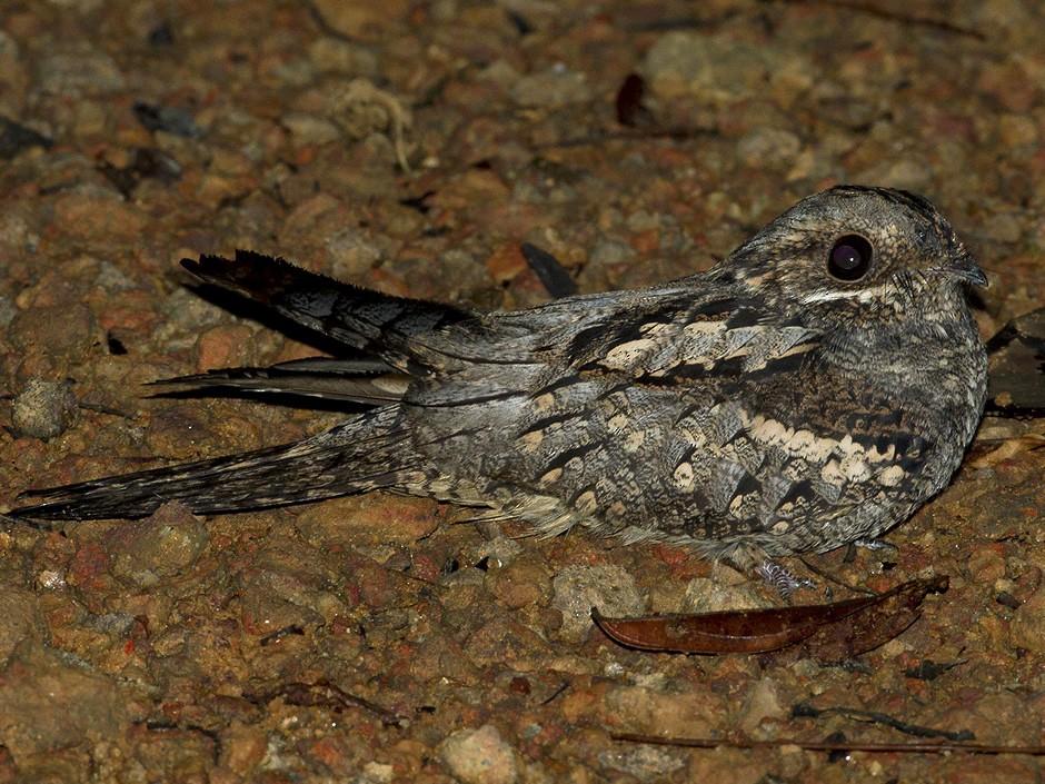 Black-shouldered Nightjar - Lars Petersson