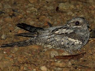 - Black-shouldered Nightjar